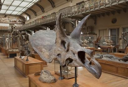 Triceratops calicornis, spécimen découvert en 1911 par Sternberg dans le Crétacé supérieur du Wyoming © MNHN - L. Cazes