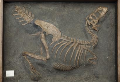 Reconstruction en plâtre d'un Tarbosaurus bataar © MNHN