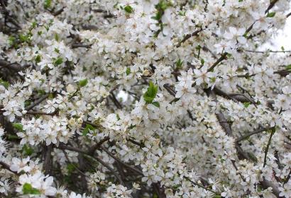 Prunus subcordata © MNHN – Philippe Barré
