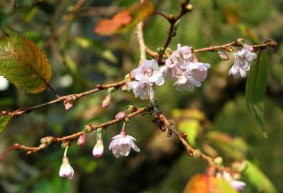 Cerisier d'hiver © CC BY 3.0 - Jean-Pol Grandmont
