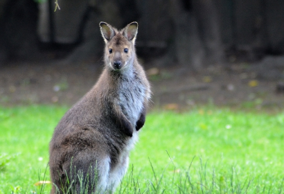 Wallaby de Benett © MNHN