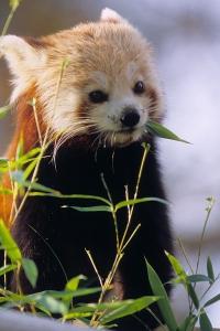 Panda roux - Ménagerie, zoo du Jardin des Plantes © MNHN - FG Grandin