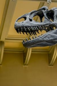 Allosaure, Galerie de Paleontologie © MNHN - Bruno Jay