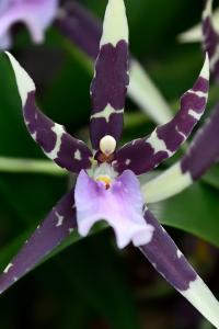 Orchidée - Miltassia Petit Pierre © MNHN – F-G. Grandin