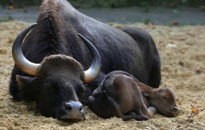 Bos gaurus - né 11-10-2019 - mâle © MNHN - E. Baril