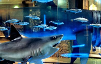 Requins au niveau marin, Grande Galerie de L'Évolution © MNHN