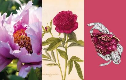 Accueil Calendrier floral – Mai : les pivoines (vignette) © MNHN / Collection Van Cleef & Arpels