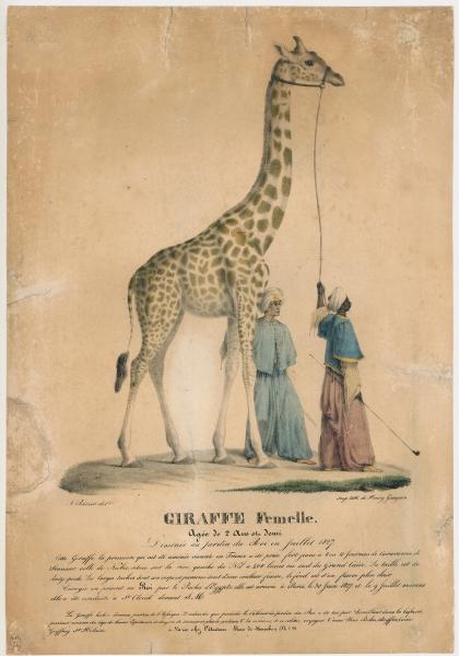 Zarafa, 1827-1845 (lithographie de A. Prévost/H.Gaugain) © MNHN - Direction des bibliothèques et de la documentation