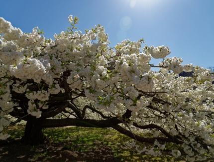 Cerisier du Japon © MNHN - François-Gilles Grandin