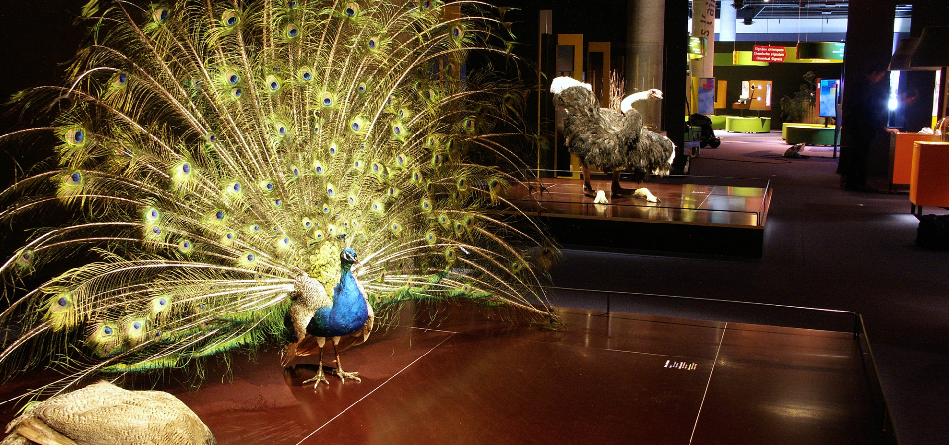 Exposition Parades, ou la séduction dans le monde animal - Le paon fait la roue pour séduire © MNHN - Bernard Faye