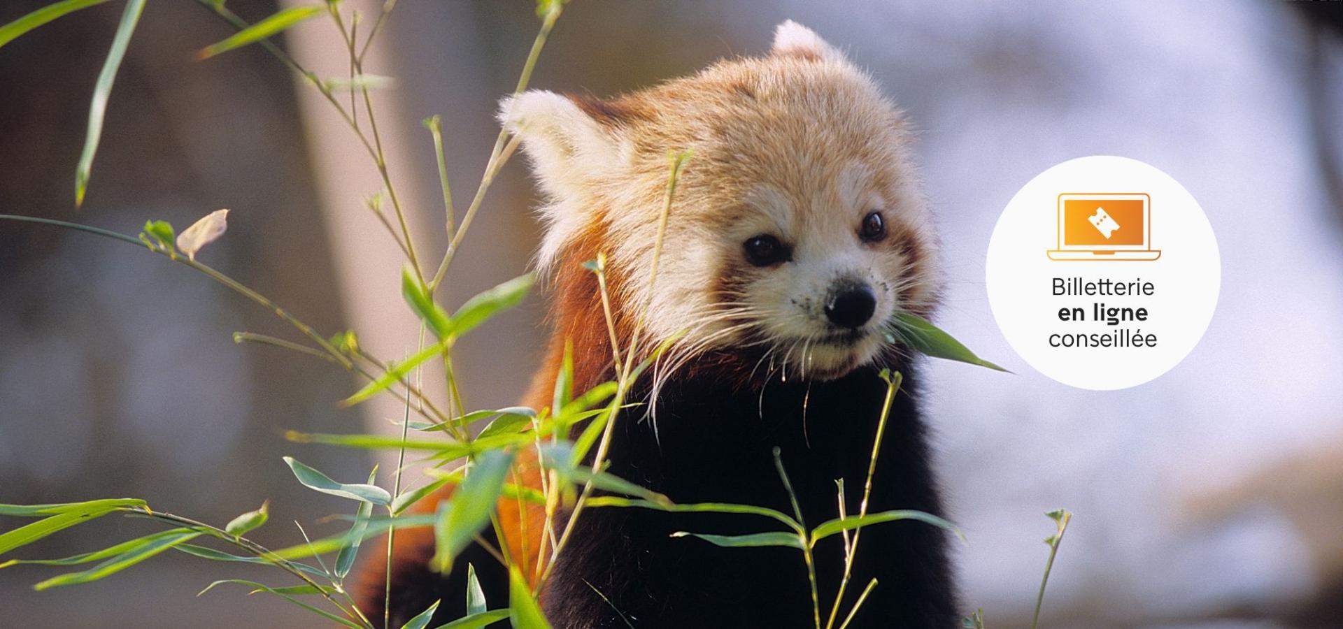Panda roux © MNHN - F.-G. Grandin
