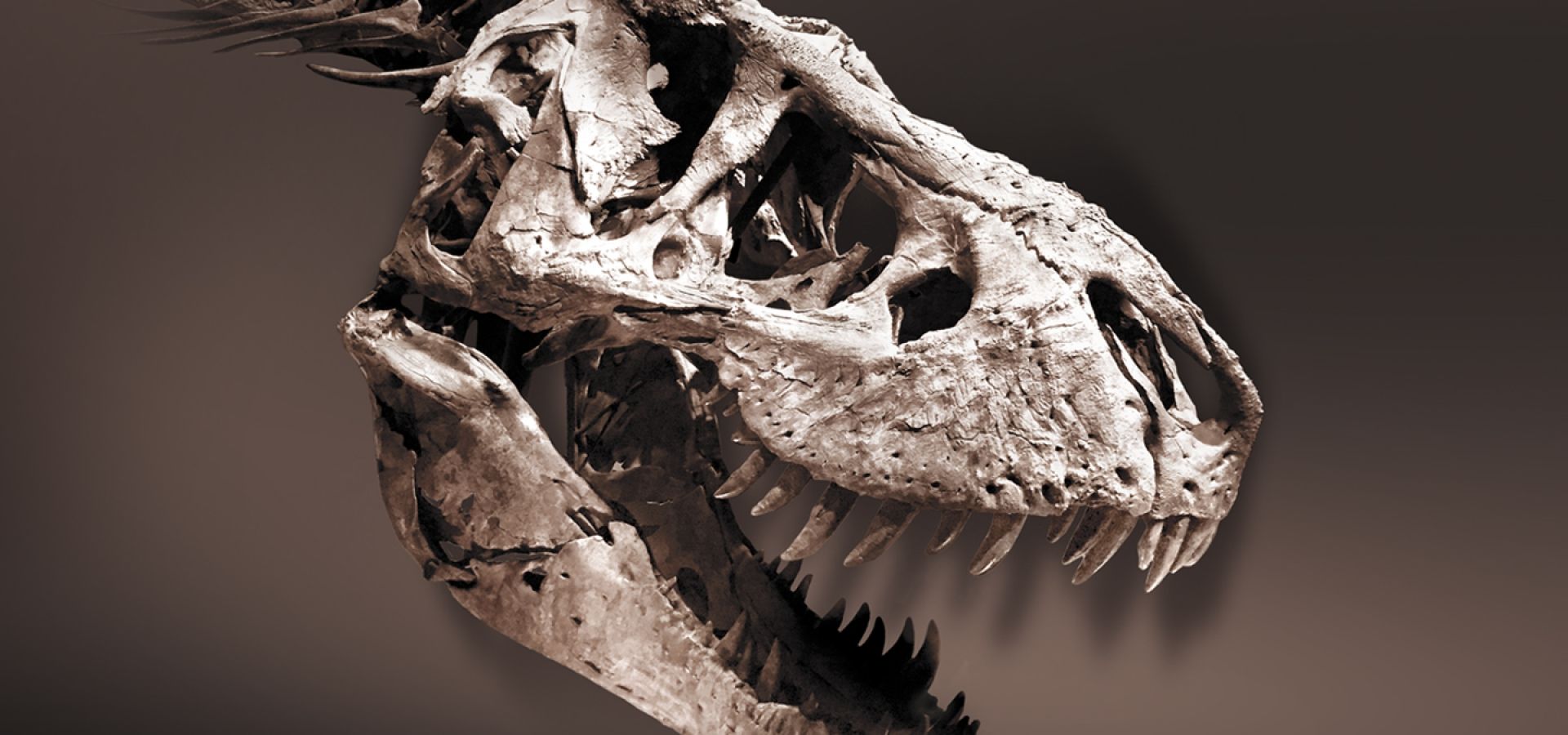 """""""Un T. rex à Paris"""" - Tyrannosaurus rex 'Trix' © MNHN"""