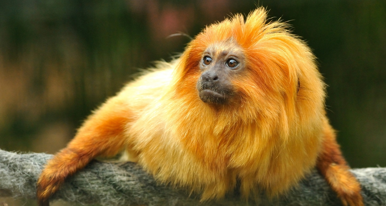 Tamarin lion doré © MNHN - FG Grandin
